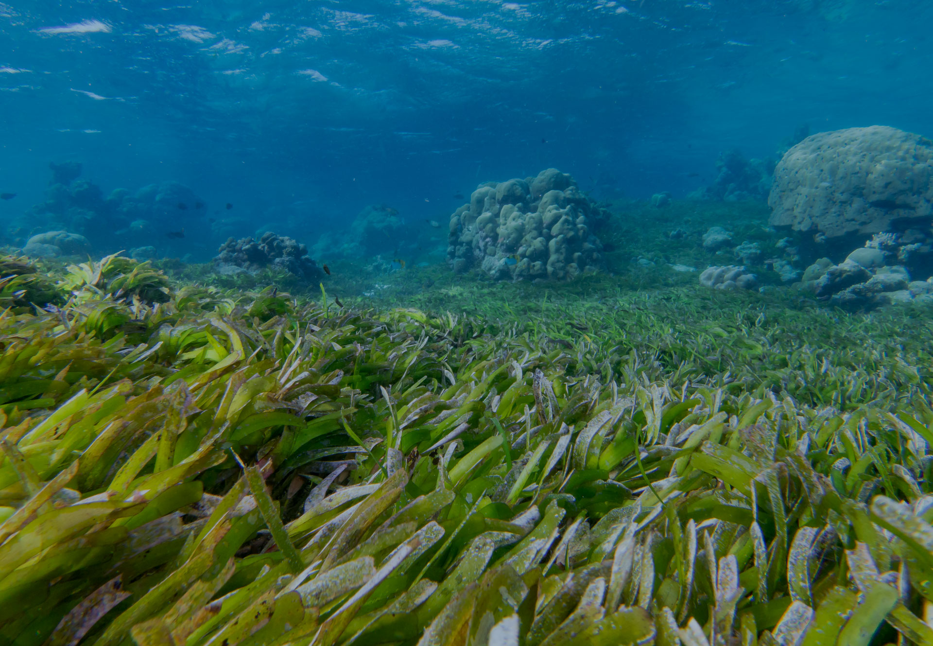 Protect Maldives Seagrass ~ Underwater